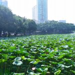 Лотосы в Гуанчжоу