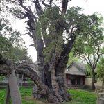 Двухтысячелетнее дерево
